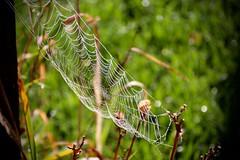 IMG_0172 (kween_beek) Tags: spiderwebs webs dew wisconsin mcfarlandwisconsinmorning