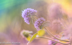 sweet light (frederic.gombert) Tags: flower sweet light sun color yellow pink blue sunlight plant morning autumn summer nikon d800 macro macrodreams 1001nights 1001nightsmagiccity