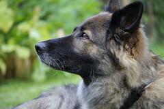 Mandy (urmeklein) Tags: dog hund schferhund haustier pet cute niedlich ss fell nase natur portrait