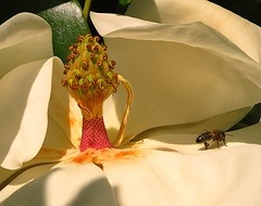 Magnolia (Gert Vanhaecht) Tags: pink gertvanhaecht breizh nature canonpowershotsx700hs color availablelight france orange bee yellow brittany insect colour macro flower canon finistre light green bretagne white