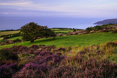 Windswept Hawthorne & Heather (Ed (tog@goldenhour)) Tags: porlockcommon exmoor hawthorne heather latesummer sonya7r landscape somerset uk sunset lonetree