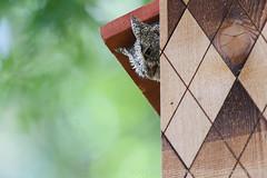 Eastern Screech-Owl - Adult Female (Scott Carpenter Photography) Tags: backyard box breed breeding daytime incubating manmade neighborhood nest nestbox nesting perched rest resting roost roosting sleep sleeping southwesttexas sring suburban summer