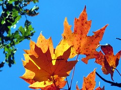 fall 2012 (frankieleon) Tags: tree fall colors leaves leaf interestingness maple interesting bestof cc creativecommons change popular foilage frankieleon