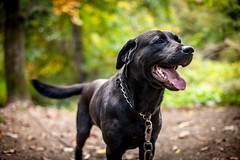 Freaky (pyathia) Tags: trees dog pet black fall leaves animal outdoors mixed woods labrador bokeh large freaky rottweiler blackdog freak bigmac mixbreed largebreed largedog