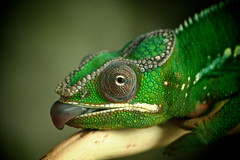 Panther Chameleon (klythawk) Tags: leica brown white macro green nature closeup grey branch reptile sheffield olympus lizard panasonic 45mm omd tropicalbutterflyhouse pantherchameleon em5 klythawk