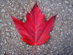 Lone maple leaf (shireye) Tags: red toronto ontario leaf maple sony canadian mapleleaf lone