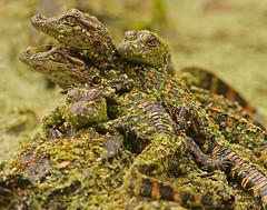 Little Alligators (Let there be light (A.J. McCullough)) Tags: texas gator alligator brazosbend babyalligator uppertexascoast naturessuperstarbaby
