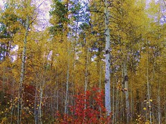 Even More Aspens (Powskichic of Bend) Tags: park autumn trees orange color fall leaves yellow pine centraloregon river october falling aspens ponderosa turning 2012 shevlin tumalo createbeauty powskichicofbend brendareidirwin