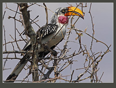 Eastern Yellow-billed Hornbill male (best original) (Rainbirder) Tags: tsavowest easternyellowbilledhornbill tockusflavirostris rainbirder