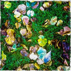 Autumn Gold (soilse) Tags: autumn ireland winter summer dublin texture nature grass leaves october colours decay foliage naturalworld 2012 fallenleaves greengrass autumngold