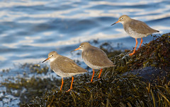 Threes a crowd... Explored (Alistair Prentice.) Tags: autumn ireland winter sea close pentax coastal prentice common northern portstewart ulster kx redshank wader explored