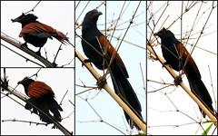 Greater Coucal (McGun) Tags: morning bird rain nikon monsoon crow friday chennai tgif coucal greatercoucal 2xtc 70200mmf28 kottivakkam project366