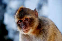 Gibraltar Monkey (murtphillips) Tags: cute beautiful monkey europe gibraltar nikondigital iberia macaque wildanimals notail barbary d80 specanimal fromafrica mygearandme onlymonkeysineurope