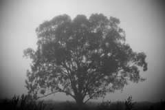 Take a moment to think (-JosephB-) Tags: morning camping bw mist tree fog blackwhite quiet peaceful southaustralia murrayriver 2012 riverland 24105mm 50d