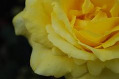Yellow Rose of Portland (Studio 934) Tags: park travel pink red summer test flower color rose yellow digital garden portland photography photo washington nikon purple pacific northwest july international 2012 orgeon d60 portland0712