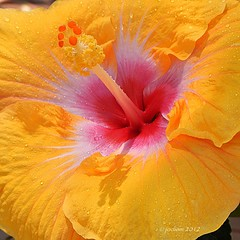 Hibiscus (frangipanica) Tags: gorgeousflowers nikonflickraward ohnonotanotherflower