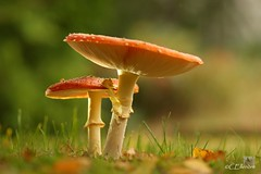 Fliegenpilz  (Amanita muscaria) (5) (Ellenore56) Tags: autumn light oktober inspiration color colour detail macro reflection fall nature mushroom licht photo october focus foto emotion magic ngc herbst natur oct perspective okt fungi fungus vista environment imagination toadstool outlook moment mojo amanitamuscaria makro pilze magical farbe reflexion ambience mycology fliegenpilze perspektive challenging fascinating reflektion pilz fliegenpilz flyagaric umwelt augenblick glcksbringer fokus luckycharm faszination symbiont schirmpilz faszinierend umbrellashaped mycorrhiza mykologie sonya350 ellenore56 mykorrhiza thegoldenachievement 22102012 holzsymbiont humusbildend humusformation