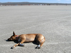 scta elmirage mojavedesert bella dog hund chien 狗 σκύλοσ madra cane 犬 perro 개 سگ собака الكلب alsation germansheprador