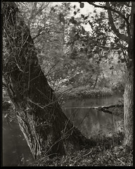 Looking towards Ogden Island - Willow (Regular Rod) Tags: autumn light shadow blackandwhite sun sunlight tree film water monochrome river fishing woods day shadows derbyshire peakdistrict conservation 8x10 willow flyfishing trout bakewell array naturesfinest fomapan semistand 510pyro ysplix rnbderbyshirewye derbyshirewye filmdev:recipe=8947