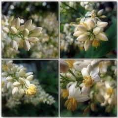 (Tölgyesi Kata) Tags: nandinadomestica japánszentfa égibambusz mennyeibambusz heavenlybamboo sacredbamboo arboretum budaiarborétum withcanonpowershota620 mozaik mosaic whiteflower blossom garden collage