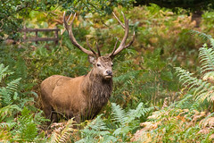 The King of the Forest (lighthunter09) Tags: park uk morning wild england male horizontal hope early big nikon stag unitedkingdom wilderness 80200mm anglers d700