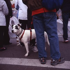 Dog at race (PhillipJackson) Tags: dog tlr film mediumformat fujichrome yashica chicagomarathon astia100f
