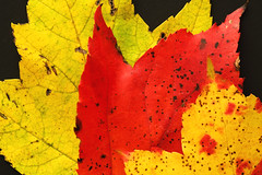 Maple leaves (Benny2006) Tags: red color green colors leaves yellow closeup maple