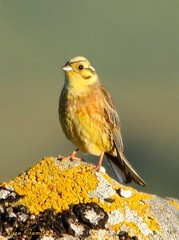 Escrevedeira-amarela | Yellowhammer (Emberiza citrinella) (Rosa Gamboias/ on vacation) Tags: naturaleza bird portugal nature birds animals fauna wildlife natureza ngc birding pssaro natura aves uccelli pjaros ave vgel animais ornithology birdwatching pssaros oiseau emberizacitrinella oiseaux gers avifauna yellowhammer emberizidae vidaselvagem passerines ornitologia escrevedeiraamarela bruantjaune gersnationalpark rosagambias parquenacionaldogers