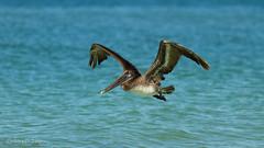 pelican3 (Ten2Ten) Tags: bird sunrise florida pelican 7d f2 135l