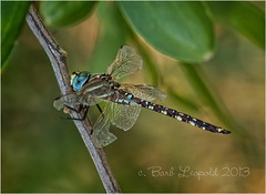 _MG_9648e (Barbiejay2) Tags: blue nature insect dragonfly southaustralia laratinga laratingawetlands barbleopold