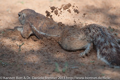 """Ground Squirrel at work • <a style=""""font-size:0.8em;"""" href=""""http://www.flickr.com/photos/56545707@N05/8364525095/"""" target=""""_blank"""">View on Flickr</a>"""