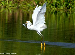 Snowy Egret With Fresh Fish - Bayou Courtableau, Louisiana (Image Hunter 1) Tags: fish reflection green feet nature water birds yellow flying droplets drops wings fishing louisiana feeding flight bayou swamp greenery marsh ripples splash shad wingspan snowyegret waterhyacinth wingspread canoneos7d birdslouisiana bayoucourtableau