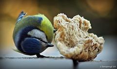 Xafardera - 12 (Pep Companyó - Barraló) Tags: barcelona birds animals fauna aves pa pajaros catalunya aus oiseaux nga caeruleus blava ocells bergueda josep cyanistes puigreig companyo mallare xafardera barralo