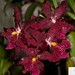 Beallara Marfitch 'Howard's Dream'