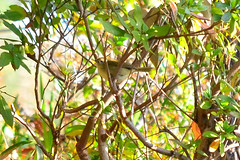 (Japanese Bush Warbler / Nightingale) (Dakiny) Tags: park winter bird nikon jan january yokohama   1  japanesebushwarbler 2013 japanesenightingale    aobaku     horornisdiphone    jpanaesebird fujigaokapark