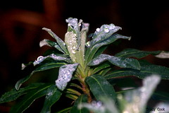 Dew Drops (Lady Of The Hounds) Tags: