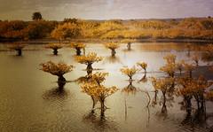 Mangrove (Suzanna Mars) Tags: natural florida melbourne mangrove wetlands marsh tidal viera