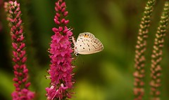 Eastern Tailed Blue Butterfly~Explored! (j man ) Tags: life lighting flowers blue friends light flower color macro art texture nature floral colors beautiful closeup butterfly bug insect lens photography illinois flickr dof blossom bokeh pov background sony details favorites 11 depthoffield explore pointofview sp ii views di if f2 tamron eastern comments ld tailed jman a300 af60mm mygearandme flickrbronzetrophygroup