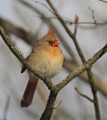 Catching some rays (Peaceful Nature) Tags: female cardinal
