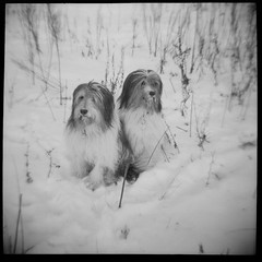 Diana F+ two dogs in the snow (I photoscoop I) Tags: two snow black 120 film dogs night rollei lens lomography withe iso diana f 100 75mm schwarzweis rpx photoscoop