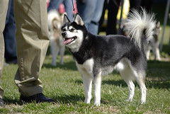 Cruiser (Alexandra Kimbrough) Tags: show dog toy miniature husky pentax huskies event kai klee alaskan ukc conformation akk