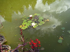 Seekers Aug2012 109 Lobelia cardinalis and Nymphaea - Water lily (monica_meeneghan) Tags: flower pond seekers