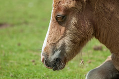 """""""Hello, my name's Major - although I am even not as large as my dad."""" (Janne Fairy) Tags: foal fohlen canon canon500d eos500d horse pferd pony"""