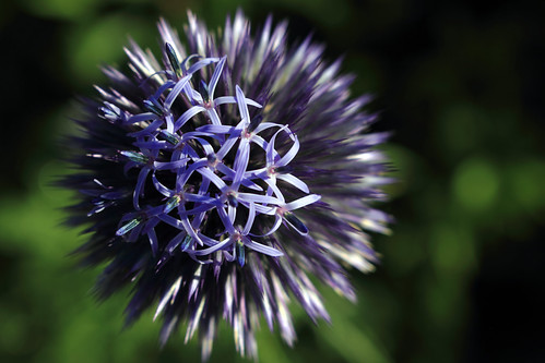 """Kugeldistel (Echinops) (03) • <a style=""""font-size:0.8em;"""" href=""""http://www.flickr.com/photos/69570948@N04/27879097164/"""" target=""""_blank"""">View on Flickr</a>"""