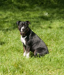 Dog Photography/London (www.natashaballettaphotograhy.com) Tags: staffie staffy dogphotography dogphotographer dogphotographylondon petphotography dogphotographyhampsteadheath london hampsteadheath