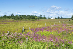 August is Nature's crowning achievement (Barbara A. White) Tags: august landscape woodlawn ontario canada wildflowers barn fence purpleloosestrife