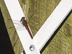 (Odonata: Libellulidae) Sympetrum sanguineum , Blodrd ngstrollslnda / Ruddy darter (holgeric77) Tags: karlstad vrmlandsln sweden se odonata libellulidae sympetrumsanguineum