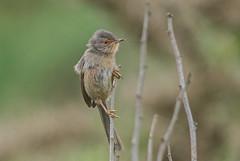 DSC3669  Dartford Warbler.. (jefflack Wildlife&Nature) Tags: dartfordwarbler dartfords birds avian wildlife wildbirds warblers warbler heathland moorland countryside coastalbirds songbirds nature