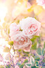 (ingrid.schnelle) Tags: canon eos 5d mark ii ef100mm f28l macro is usm details norge norway garden nature flowers roses rose flower plant outdoor dof bokeh pink summer lovely outdoors
