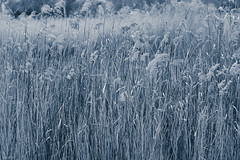 Bluegrass (Jackassp) Tags: adelaide grasses pentaxk1 pentaxlife sigma2470mmf28ifexdghsm singleinaugust2016 winterinadelaide oakden southaustralia australia au